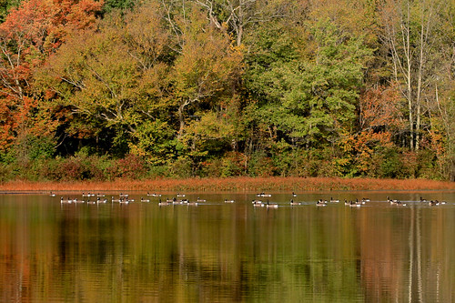 geese bird lake fall autumn foliage flock canadian poconos