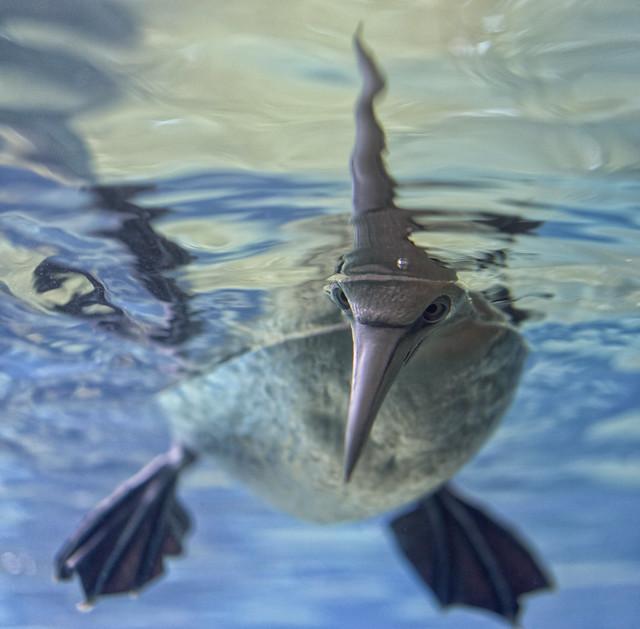 Basstölpel / Northern gannet