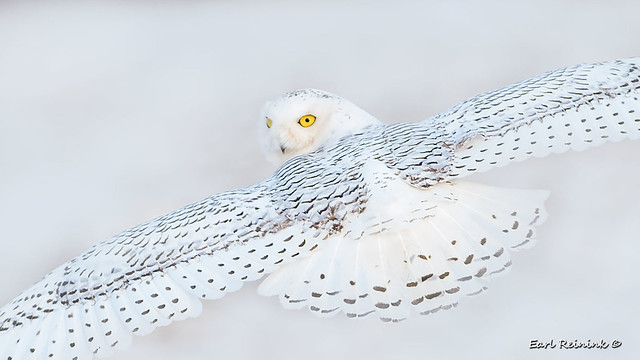 Snowy Owl - all eyes