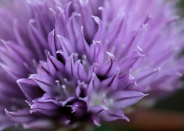 Flor de Ciboulette