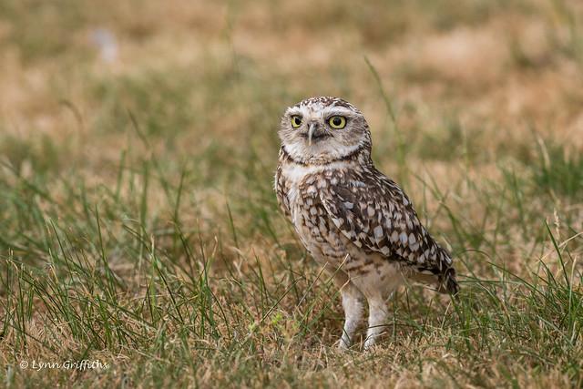 Burrowing Owl D85_4192.jpg