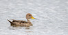 Yellow-billed Pintail by mathurinmalby