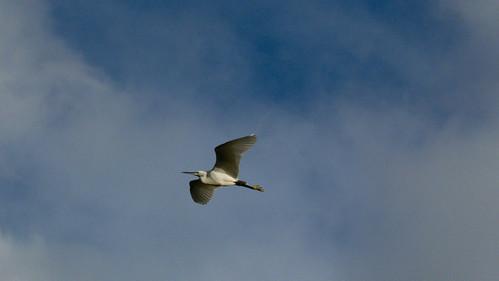 Little egret taking off, Perton