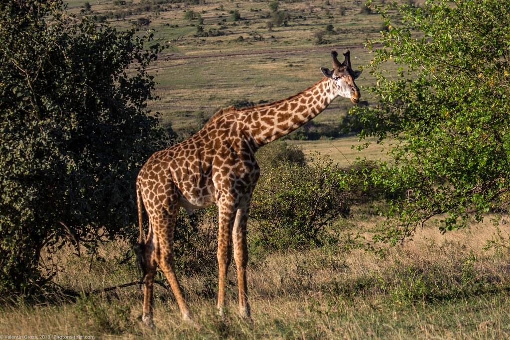 Girafe_septembrie 05_Maasai Mara_gradina_2