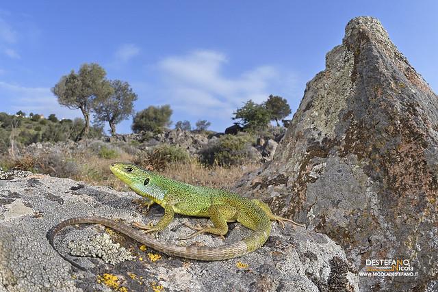 Green balkan lizard