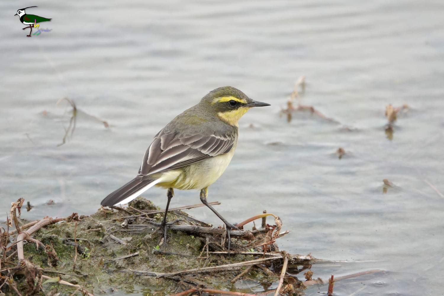 Yellow_Wagtail_Sony_02892