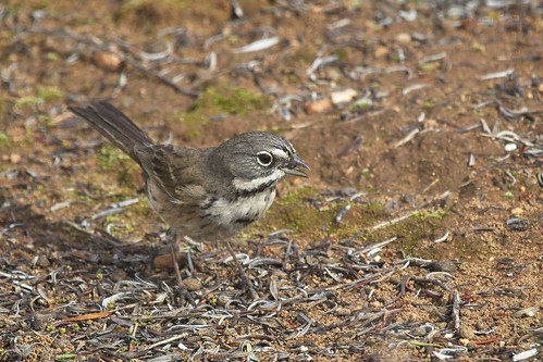 california bells sparrow artemisiospiza belli