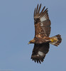 Golden Eagle by Ceredig Roberts