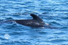 Long-finned pilot whale 1