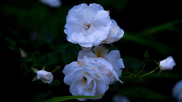 white rose, beyaz gül