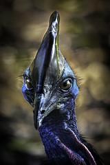 Cassowary Ponto Closeup