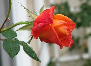 Red Rain Rose | by Bennilover