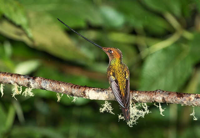 Sword-billed Hummingbird - Colibri porte-épée