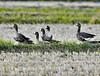 Lesser white-fronted geese going to take off by takashi muramatsu