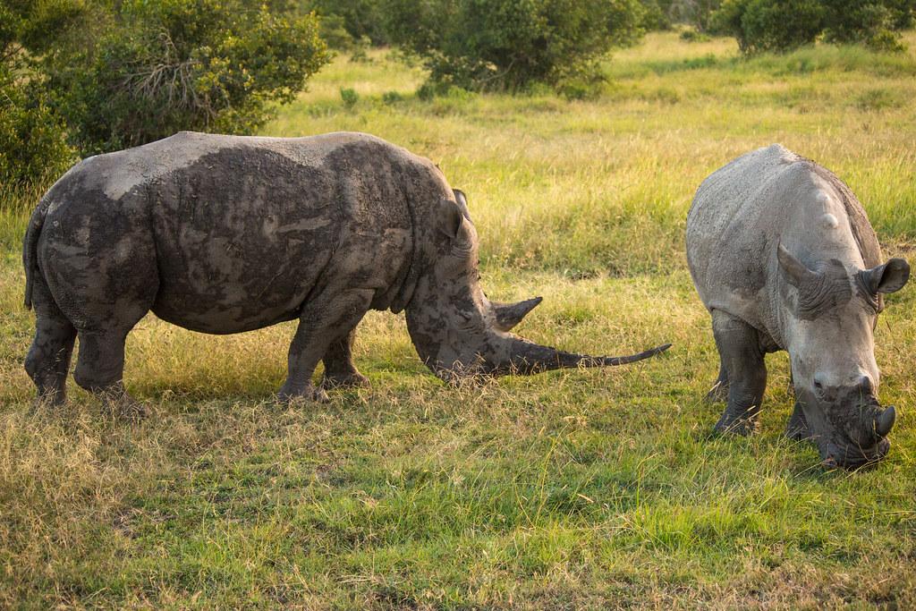 afrikanza-pejeta-rhinos