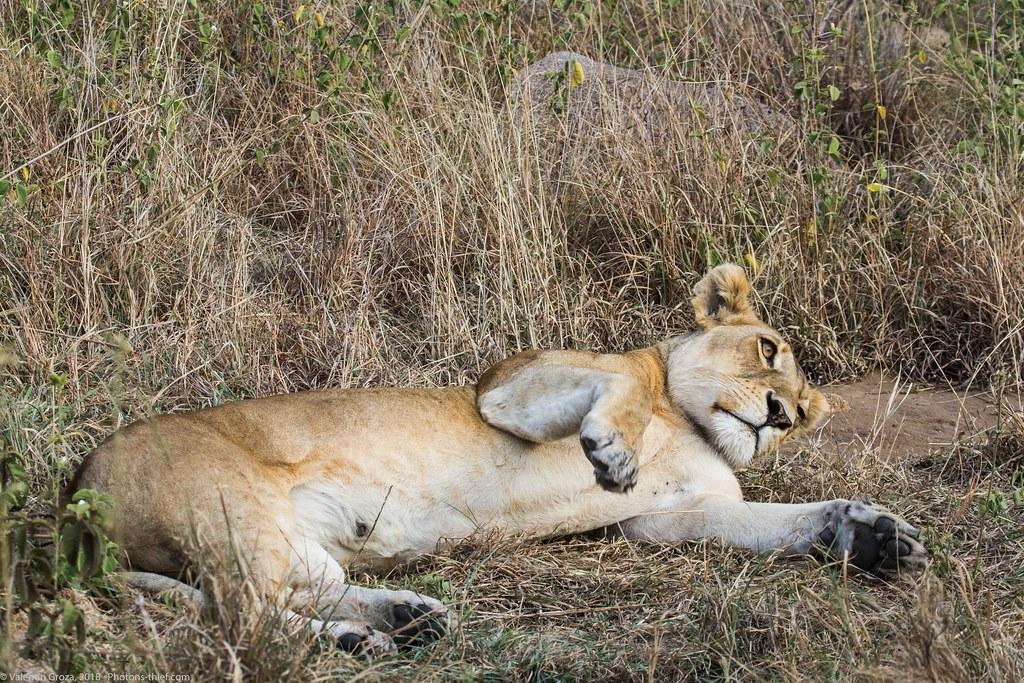 Leoaica cu pui_septembrie18_Serengeti_05