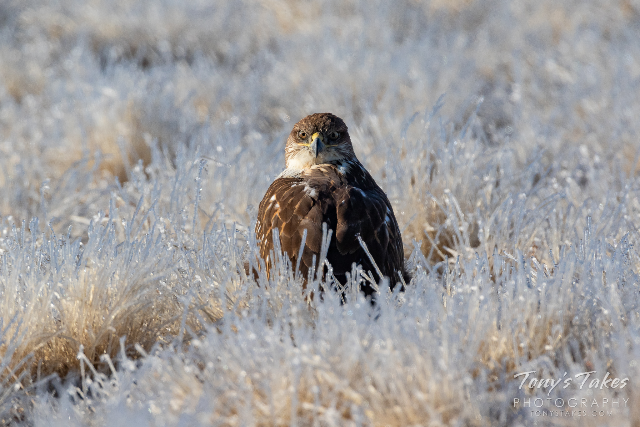 A Ferruginous Hawk sits in ice-covered grasses. (© Tony's Takes)