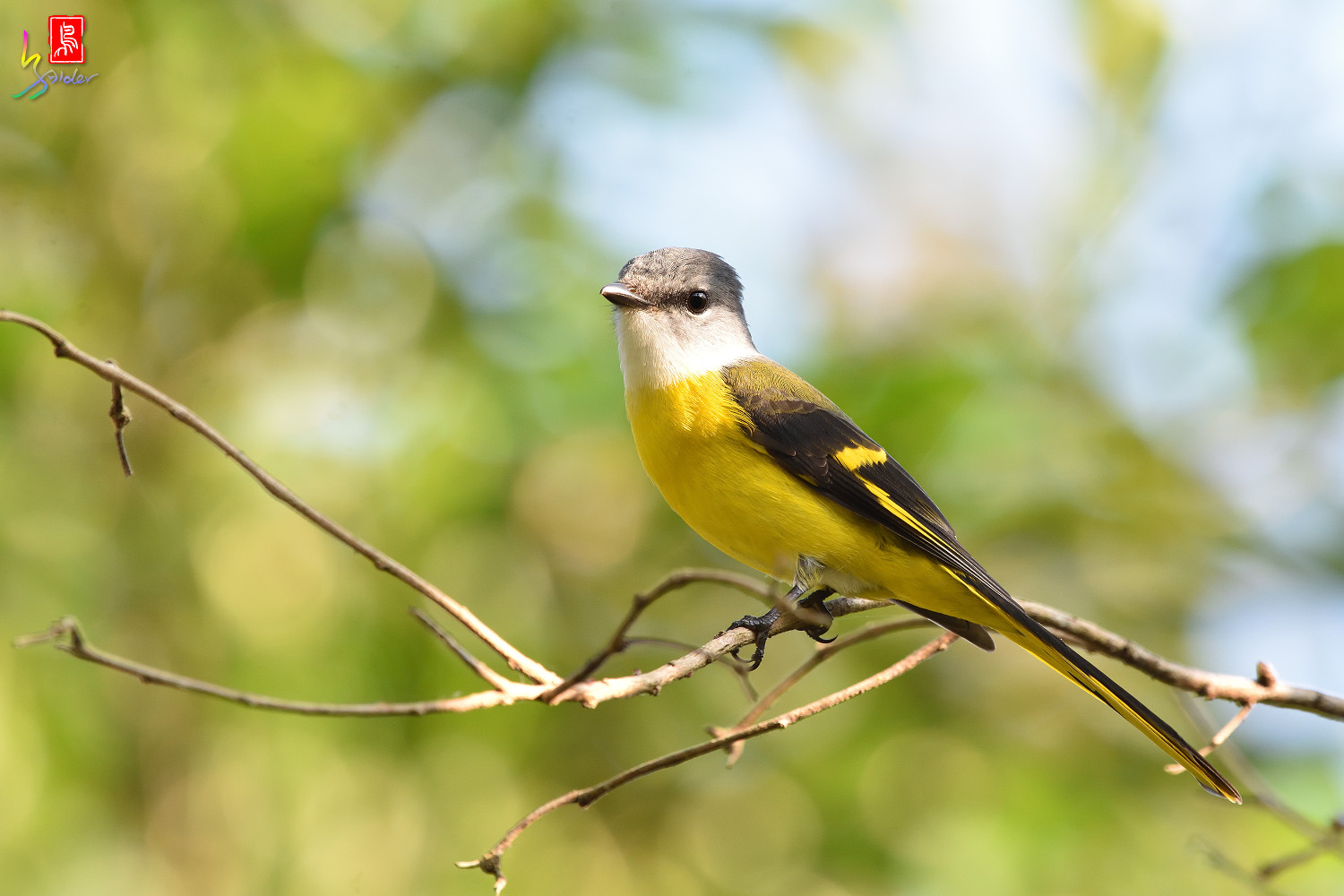 Grey-chinned_Minivet_8651