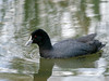 Eurasian Coot (Fulica atra) by David Cook Wildlife Photography