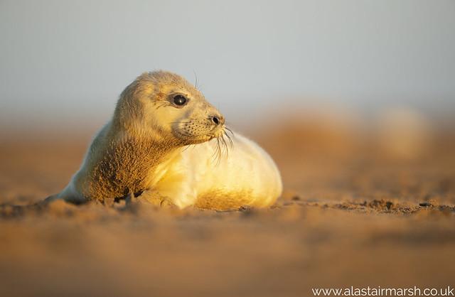 Grey Seal Pup at Dawn