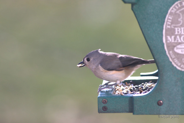 Hungry Tufted Titmouse