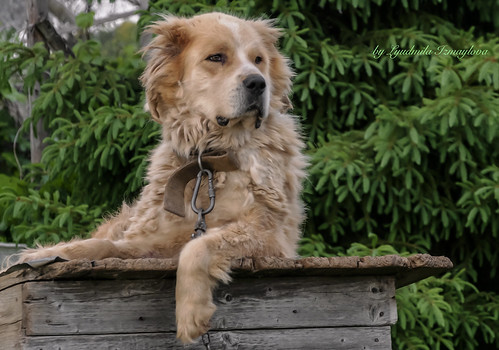Guard dog | by Lyutik966