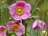 Pink Anemone by Marit Buelens