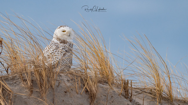 Snowy Owls of New Jersey | 2018 - 34