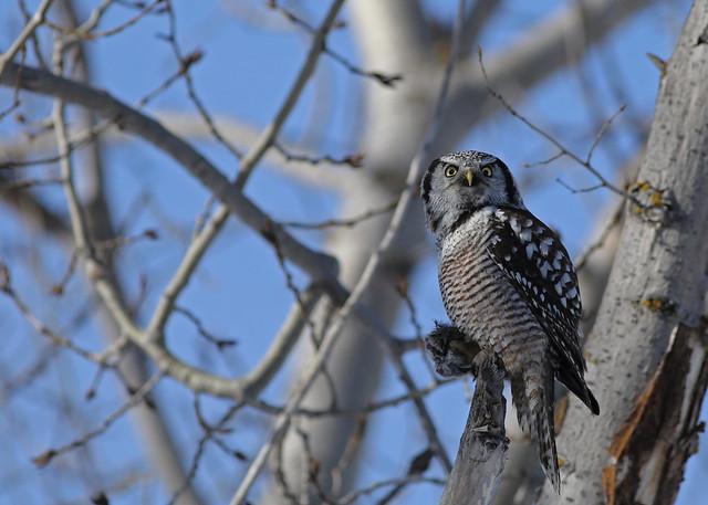 Northern Hawk Owl...#2 (explore on Nov 12, 2018)