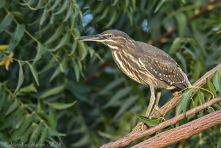 Striated Heron (Butorides striata) | by Jeluba
