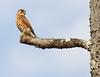 Madagascar Kestrel