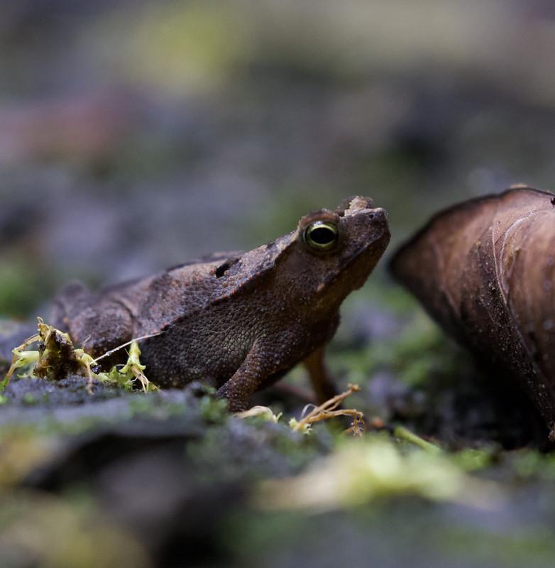Rhinella sp, Leaf Frog Ascanio_Panama 199A8724