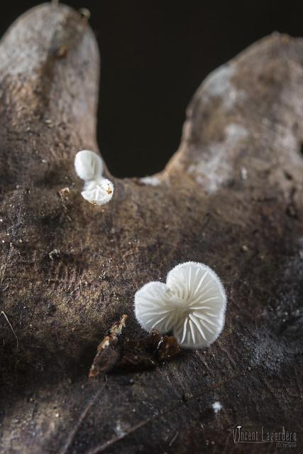 Crepidotus sp. sur feuille de chêne