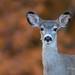 Deer Portrait by Rick Derevan