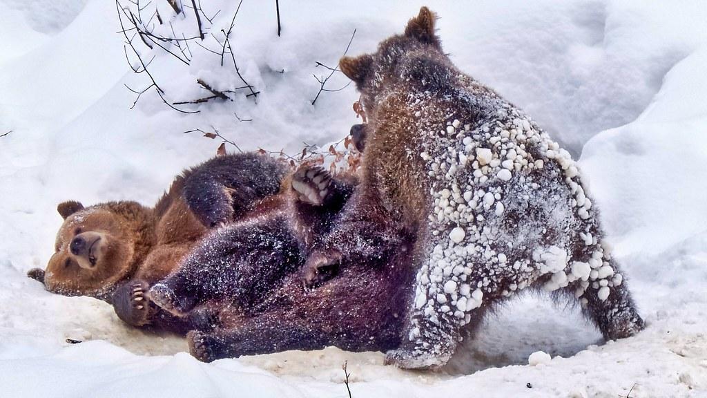 Bärenkinder Ralu und Luserl beim Spielen mit Mama Luna
