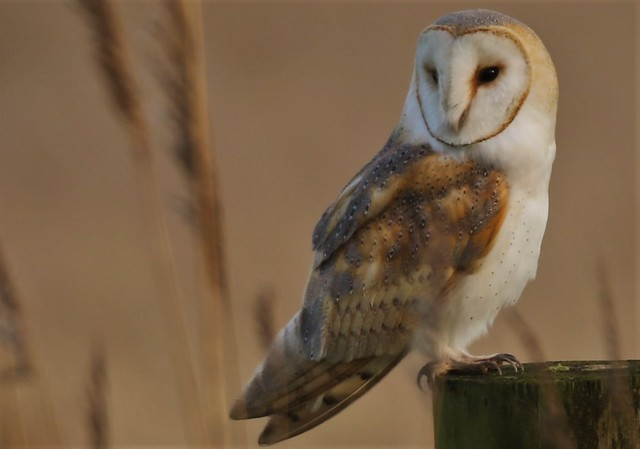 Barn Owl (Tyto Alba) Photographed in the wild