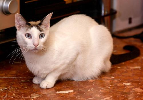 Blau, gato cruce Snowshoe nacido en enero´17 esterilizado, apto para gatos machos, en adopción. Valencia. 46157686692_f4564ed503