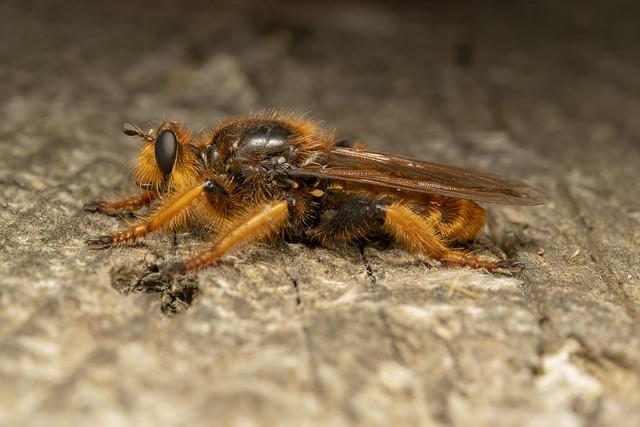 Giant robber fly (lat. Pogonosoma maroccanum) 1