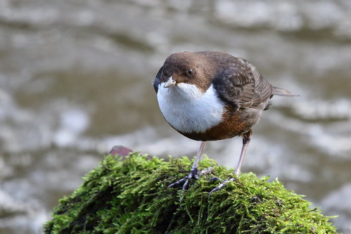 Common Dipper | by Paul Marfell
