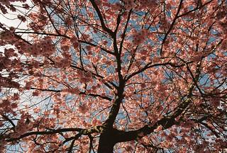 Japanskt körsbärsträd, närmast Konsum