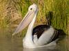Australian Pelican (Pelecanus conspicillatus) by David Cook Wildlife Photography