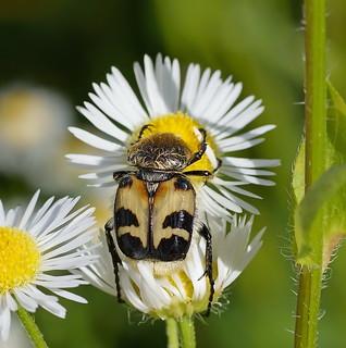 Восковик перевязанный (Trichius fasciatus) | by eokolov12