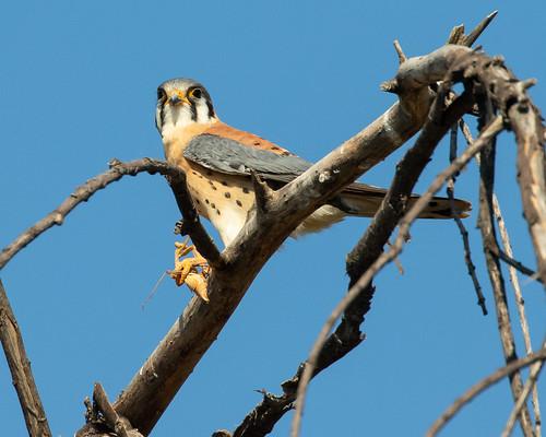 americankestrel falcosparverius kestrel bird birdofprey falcon raptor wildlife elmonte california unitedstates us