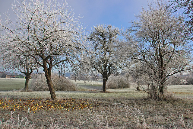 frosty appeltrees IMG_3830