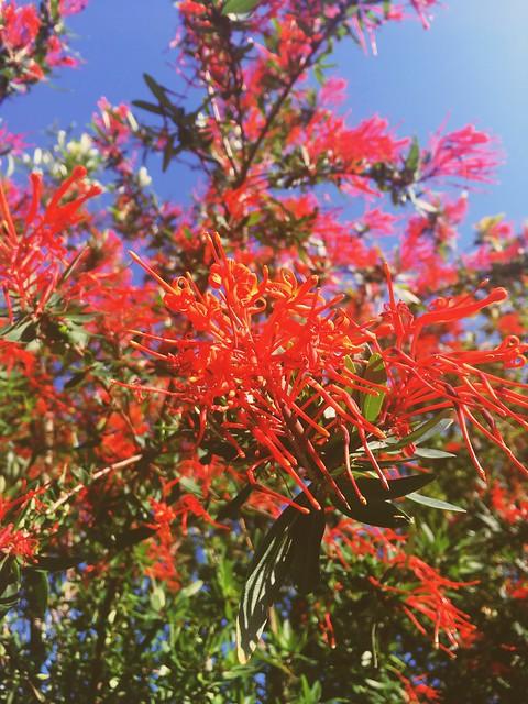 Flor del Notro