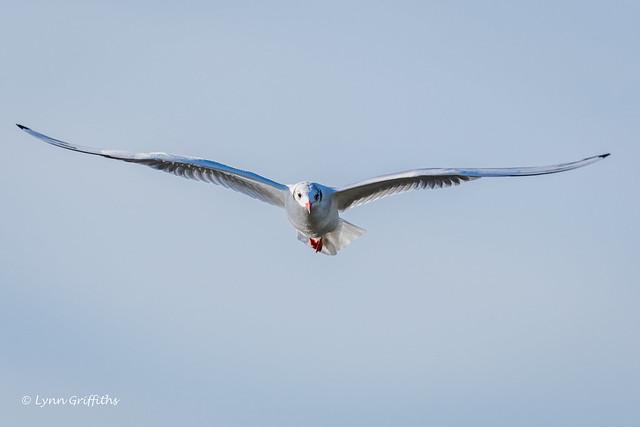 Black-headed Gull D85_6026.jpg