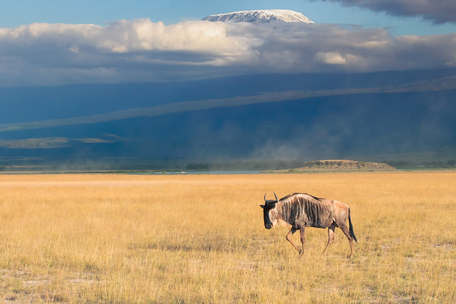 The Lone Blue Widebeest (Gnu), Amboseli National Park
