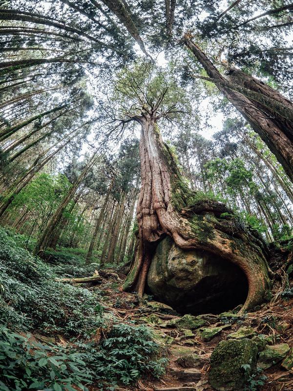 樹抱石|阿里山 二萬坪