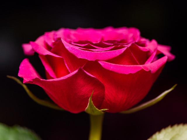 365.361 - Rose again