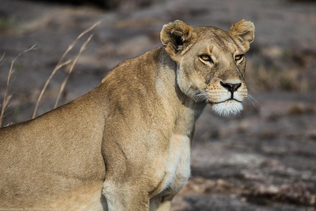 Leoaica cu pui_septembrie18_Serengeti_10